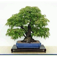 25pcs / bag bonsai maple seed bonsai tree seed. Rare blue maple seeds. Balcony plants in home garden