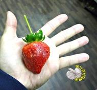 [白肉香水草莓苗 白色果肉草莓盆栽 特殊草莓苗] 2.5-3寸盆 新品種草莓苗 ~季節限定~ 先確認有沒有貨再下標!