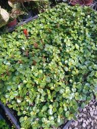 WISH  FOREST【觀葉。銀杏木】。耐旱好種~多肉植物~~易長成樹型盆栽