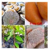 Anak Pokok Durian Duri Hitam & belian 4pokok dapat Free Gift