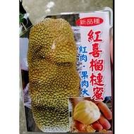 花囍園_水果苗--紅喜榴槤蜜(紅肉)--果實大小平均~甜而不膩/4吋高約30-50cm/售900特價750