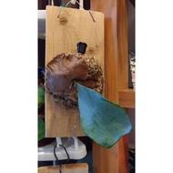 爪哇鹿角蕨   Platycerium willinckii 上板