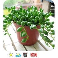 生活創意園藝【多肉植物】室外/半日照植物‧弦月