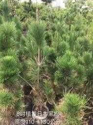 【盛宏園藝】樹苗︱三河黑松︱8吋植袋黑松︱高度110-130公分(請自取)