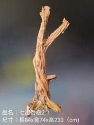 七里香樹2
