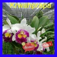SALE !!ราคาพิเศษ ## กล้วยไม้แคทลียา ขวัญประภา ดอกหอม กระถาง 3.5 นิ้ว(ส่งแบบไม่มีดอก ขนาดตามภาพตัวอย่าง) ##เมล็ดพรรณและต้นไม้seed tree