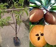 Anak Pokok Ciku Mega Hybrid