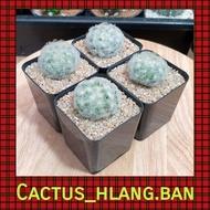 แคคตัส Cactus : แมมขนนกสีขาว (Mammillaria plumosa) จำนวน 1 ต้น