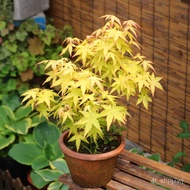 Potted Plant Plant Seedling Maple Leaf Bonsai Indoor Balcony Japanese Red Maple Leaf Window Sill Bonsai Golden Red Maple