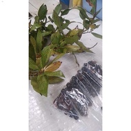 Plants▼Bayleaf Seeds/Laurel Seeds(per seed)