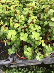 一禪種苗園-葉肉質肥厚<外銀杏木(樹馬齿莧)>小品盆栽-3吋盆
