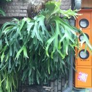 爪哇、深綠⋯⋯ 鹿角蕨 早期野生,大芽1200,小芽800