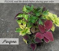 Coleus/Mayana Collection 1 (Live Plant w/ Pot)