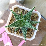 Succulent ไม้อวบน้ำ Aloe hybrid อโล ไฮบริด ไม้ชำหน่อ