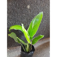 Rare Calathea X Variagated Calathea X Prayer Plant Calathea X Arrowroot X Plant Collector