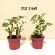 {英宏}室內植物-圓葉川七(福祿桐)3寸盆