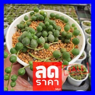 SALE !!สุดๆ ## [ ส่งฟรี ] Senecio Rowleyanus Buddha Pearl สร้อยไข่มุก ขนาด 7cm G Succulents กุหลาบหินนำเข้า ไม้อวบน้ำ. ##ต้นไม้และเมล็ดพันธุ์ดอกไม้