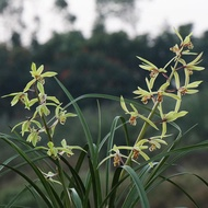 Orchid, fragrant cymbidium, orchid seedlings, indoor potted green plants, flowers, easy to raise and live, balcony offic