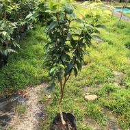 《艾斯卡樹葡萄苗~》