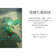 心栽花坊-綠寶石蔓綠絨/綠帝王/綠鑽石/3吋盆/小品/觀葉植物/室內植物/售價50特價40