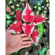 Bonggol/ Bonggolan Caladium caladium/keladi Dwi warna
