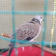 burung tekukur dekukur kuk 2