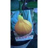 李家果苗 巨無霸夏威樹葡萄 買2顆免運費 果實可達12公分 高度150公分左右