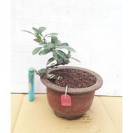 **大自然盆栽園**  金豆柑--療癒小品--103