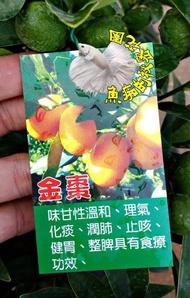 [大金棗盆栽 四季金棗樹 果變黃可以連皮吃] 6-8吋多年生活體果樹盆栽 室外植物~ 天氣冷果實多. 天氣熱果實會少很多