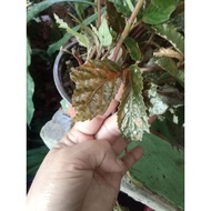Begonia Maculata 3 for 100 pesos