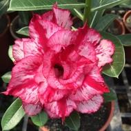 沙漠玫瑰 重瓣品種 嫁接5吋盆(梵古)