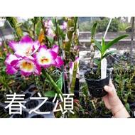🌸優惠價🌸春之頌石斛蘭苗
