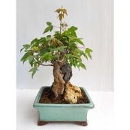 唐楓    小品盆栽
