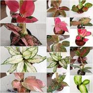 Aglaonema varieties from thailand