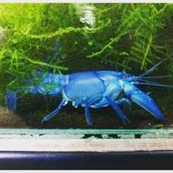 螯蝦    3CM對蝦 澳洲純藍螯蝦 飼料蝦
