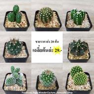 กระบองเพชร แคคตัส (Cactus) ขายส่ง 20 ต้น ราคาถูก เฉลี่ยต้นล่ะ 29.- หลากหลายสายพันธุ์ตามภาพ จัดส่งทั้งกระถาง