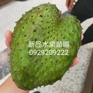 紅毛榴槤/刺果番荔枝/蜜紅毛榴槤 (新品水果苗場)