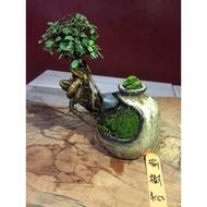 造型盆栽 - 榆樹植物
