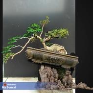 bonsai serut mini unik