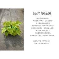 心栽花坊-陽光蔓綠絨/5吋/綠化植物/室內植物/觀葉植物/售價120特價100