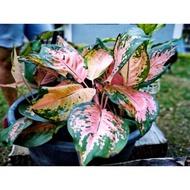 ✐✹♂  Aglaonema Plant Rare Varieties