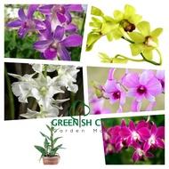 GNC - Live Plant Dendrobium Orchid Flower Plants Pokok Bunga Orkid Dendro 兰花