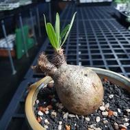 Find x 找肉 象牙宮 塊根植物 多肉植物 稀有塊根