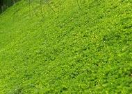 ขายส่ง 1 ขีด ถั่วบราซิล arachis pintoi มีชื่อเรียกอย่างอื่นว่า ถั่วพินตอย ถั่วปิ่นโต Pinto Peanut ถั่วลิสงเถา ถั่วเปรู ถั่วอมาริลโล Amarillo Peanut พืชคลุมดิน เมล็ดพันธุ์ถั่วบราซิล Yellow Peanut Plant หญ้าจัดสวน Brazil nut