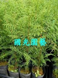 紅檜苗 國光園藝
