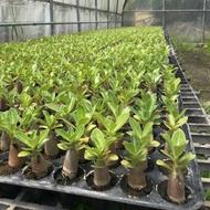沙漠玫瑰 阿拉伯品種種子 這批發芽率很高約有90%