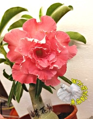 [山茶花] 新品種複瓣沙漠玫瑰 5寸盆 多年生觀賞花卉盆栽 室外半日照佳 ~ 寄出時不一定還有花~ 請先確認有沒有貨!