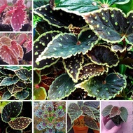 Rare Plant Green Point  Begonia Seeds Bonsai Plant Seeds for Garden Decoration