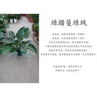 心栽花坊-綠鑽蔓綠絨/綠鑽石蔓綠絨/綠帝王蔓綠絨/8吋/觀葉植物/室內植物/綠化植物/售價350特價300