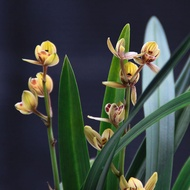 Chunlan Nanjing Orchid Miao Jianlan is easy to raise and live. Jianlan flower potted plants are green and fragrant orchi